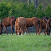 Caption: yearlings in a field<br /> Mill Ridge Farm scenes, near Lexington, Ky.,  on April 15, 2020 Mill Ridge in Lexington, KY.