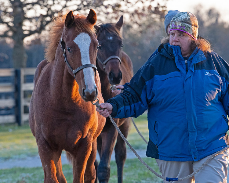 (L-R): Lord Nelson/Always in My Heart and Mastery/Brownie Points Weanlings walking in, <br /> at <br /> Pin Oak Stud<br /> at  Nov. 8, 2019 Pin Oak Stud in Versailles, KY.