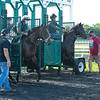 Caption:  learning to break from the gate, (L-R): Dennis Nobles on Westminster Abbey and Juan Carlos Perez on Nomadic Fighter.<br /> A native of Oklahoma, Heath started working at WinStar Farm on October 10, 2014, and became the farm trainer in October of 2018. Presently he has about 100 horses in training at the WinStar Farm training center, where they have a 7 1/2-furlong main track and 3/4 of a mile undulating turf gallop.<br /> Daily Life series on Destin Heath, farm trainer at WinStar Farm on Aug. 11, 2020 WinStar Farm in Versailles, KY.
