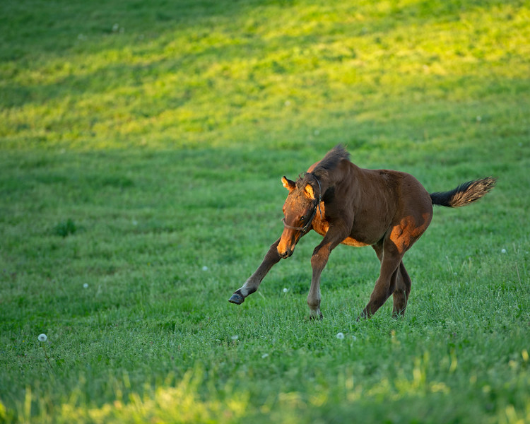 Caption: bay colt by Congrats out of Silent Ronin nicknamed Bruiser<br /> Mares and foals at Pisgah Farm near Versailles, Ky., on May 1, 2020 PIsgah Farm in Versailles, KY.