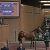 The American Pharoah colt consigned as Hip 382 in the ring at the Keeneland September Sale