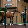 The Union Rags colt consigned as Hip 199 in the ring at the Keeneland September Sale