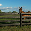 Caption: mare in field, Sassy Rose<br /> Chuck and Lyra Miller at Rosecrest Farm near Paris, Ky. on July 10, 2020 Rosecrest in Paris, KY.