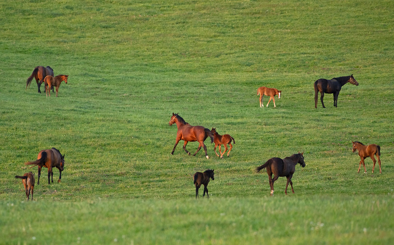 Caption: mares and foals in field at Ashview<br /> Mares, foals, yearlings, scenes at Ashview Farm near Versailles, Ky., on April 28, 2020 Ashview Farm in Versailles, KY.