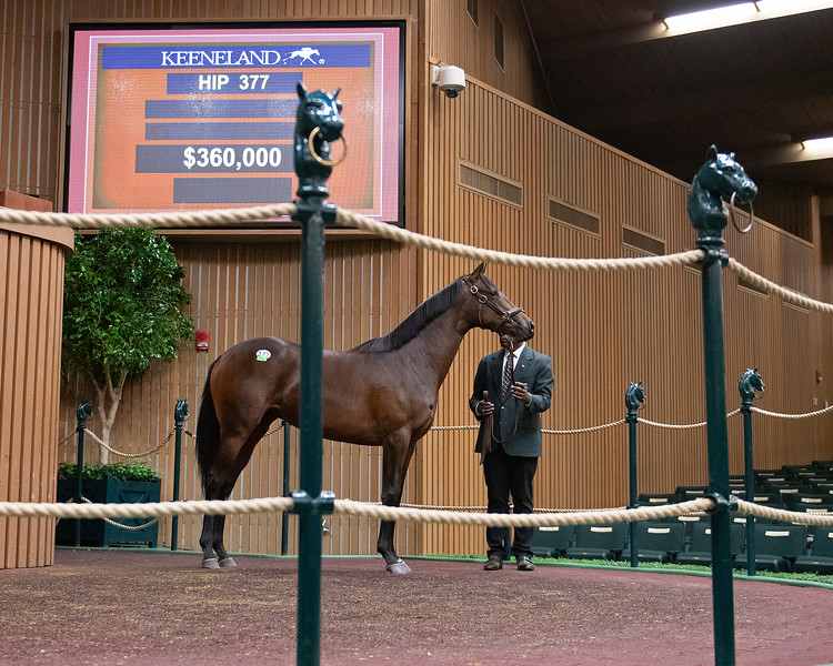 The Camelot filly consigned as Hip 377 at Taylor Made's consignment to the Keeneland September Sale<br /> <br /> <br /> <br /> <br /> <br /> <br /> 's consignment to the Keeneland September Sale