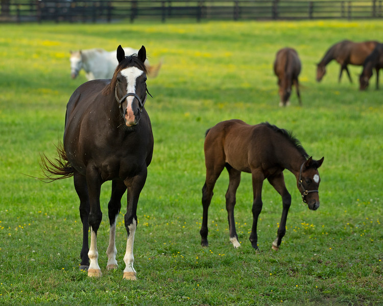 Caption: Gracious Sakes and Funtastic filly<br /> Mares and foals on Heaven Trees Farm near Lexington, Ky., on May 22, 2020 Heaven Trees in Lexington, KY.