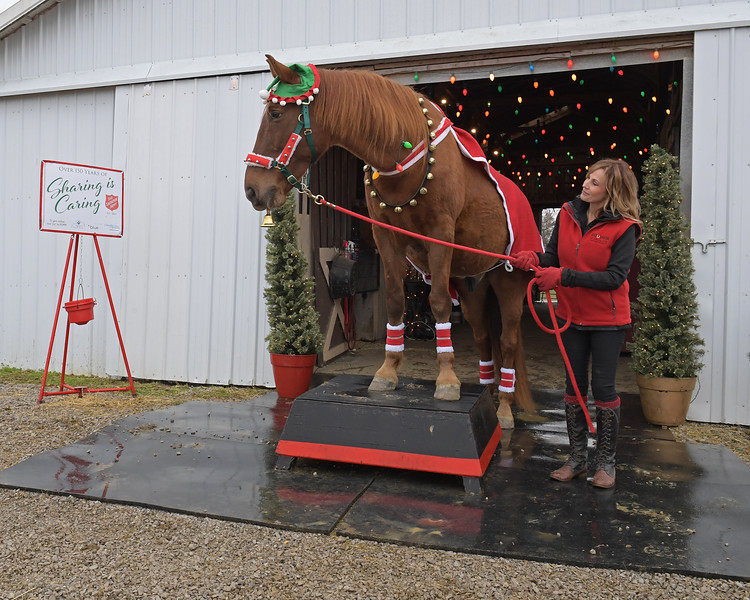Hank practicing at Side Saddle Farm for his Salvation Army gig with handler/trainer Tammi Jo Regan on Nov. 23, 2019 Side Saddle Farm in Cynthiana, KY.