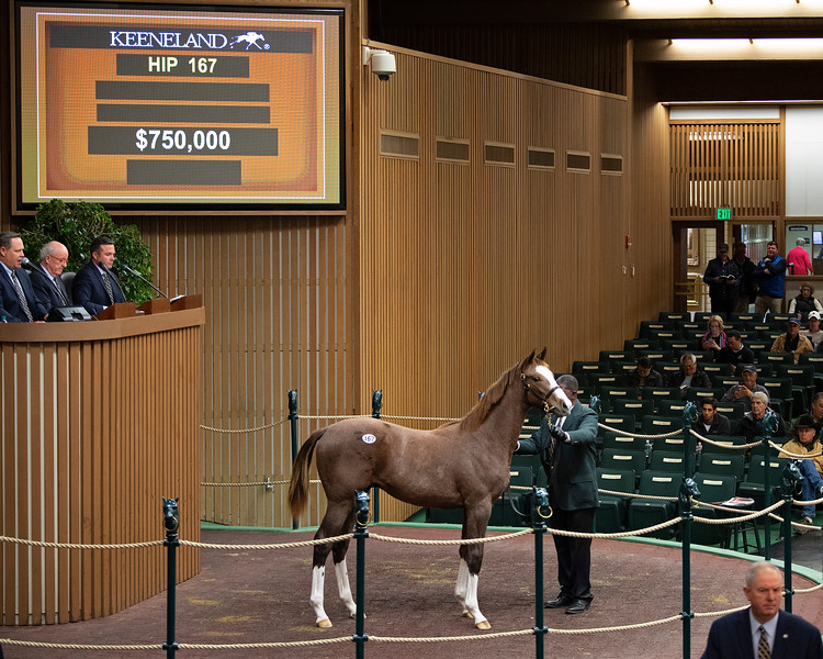 Hip 167 colt by Curlin out of Banree<br /> at  Nov. 6, 2019 Keeneland in Lexington, KY.
