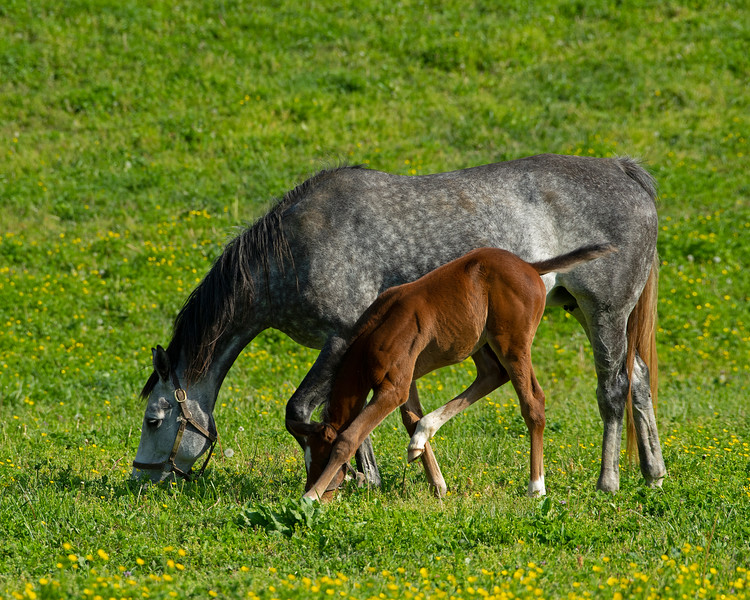 Caption:  Secondhand with 2020 Get Stormy colt<br /> Mares and foals on Pisgah Farm near Versailles, Ky., on May 2, 2020 Pisgah Farm in Versailles, KY.