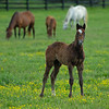 Caption: foreground is Blame colt out of Shesakitty, with Shesakitty (gray back right) and Lotta Kim and 20 Bolt d'Oro colt<br /> Mares and foals on Heaven Trees Farm near Lexington, Ky., on May 21, 2020 Heaven Trees in Lexington, KY.
