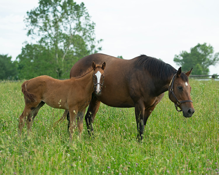 Caption: Glorious View with her Lord Nelson colt born 3/26/20 and in foal to Ghostzapper<br /> Mares Cayuga's Waters and Glorious View owned by Brant Laue boarded at Alfred Nuchols' Hurstland Farm near Midway, Ky., on June 9, 2020 Brant Laue in Versailles, KY.