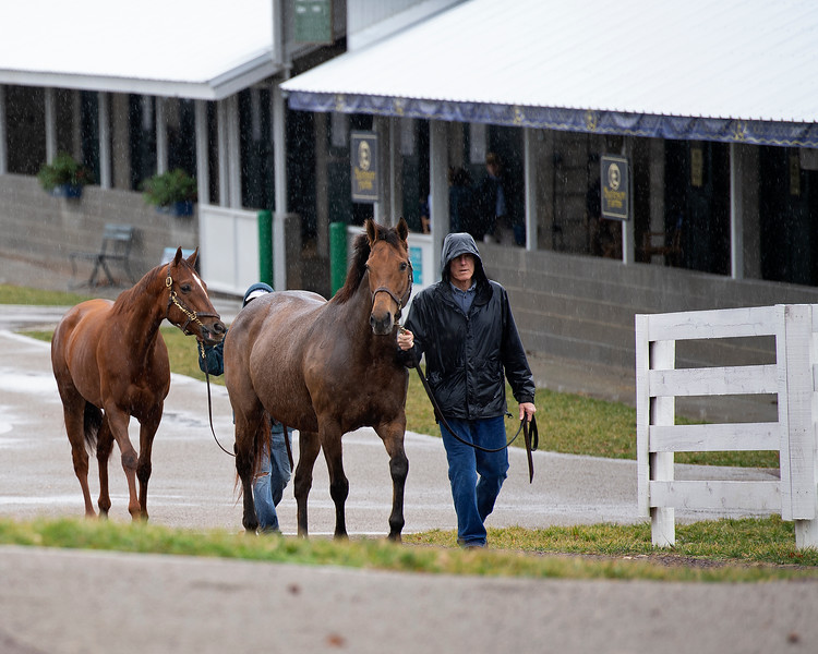 Mares arriving on the sales grounds in pouring rain. Scenes during the Keeneland January sales on Jan. 11, 2020 Keeneland in Lexington, KY.