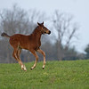 Caption: foal running, Oscar Performance colt out of Miss Chapin.<br /> Mill Ridge Farm scenes, near Lexington, Ky.,  on April 15, 2020 Mill Ridge in Lexington, KY.