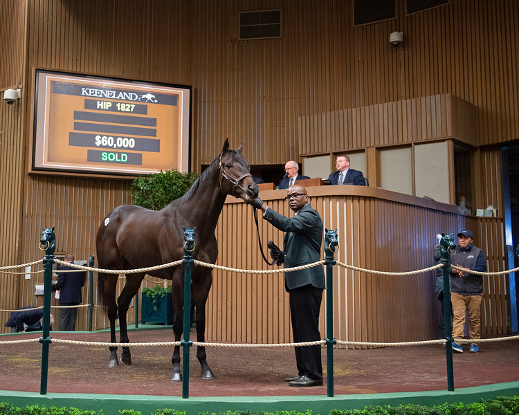 Hip 1827 New Frontier from Bluewater and final hip through sale. <br /> Keeneland January Horses of all ages sales on<br /> Jan. 17, 2020 Keeneland in Lexington, KY.