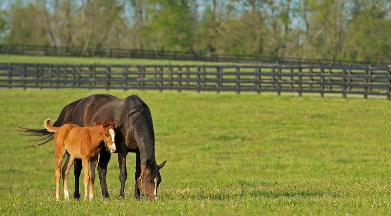 Caption: Tizasong and 2020 Collected filly<br /> Mares, foals, yearlings, scenes at Ashview Farm near Versailles, Ky., on April 28, 2020 Ashview Farm in Versailles, KY.