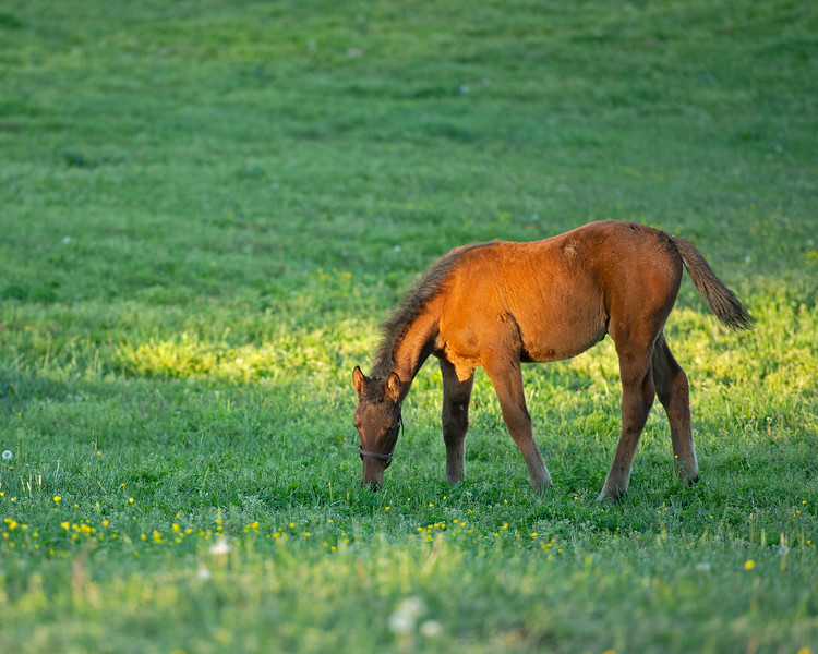 Caption: Silent Ronin's bay colt by Congrats nickname Bruiser<br /> Mares and foals at Pisgah Farm near Versailles, Ky., on May 1, 2020 PIsgah Farm in Versailles, KY.