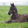 Caption: Mendelssohn colt born 3/13/20 out of the mare Switched Up<br /> Rob Tillyer and Dixiana Farm scenes near Lexington, Ky.,  on April 18, 2020 Dixiana in Lexington, KY.