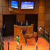 Hip 433 colt by Into Mischief  out of Twice the Lady<br /> Fasig-Tipton Selected Yearlings Showcase in Lexington, KY on September 10, 2020.
