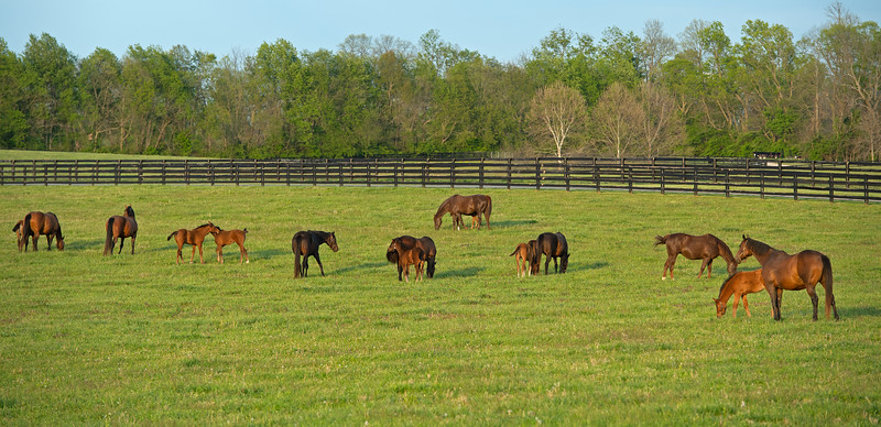 Caption: <br /> Mares, foals, yearlings, scenes at Ashview Farm near Versailles, Ky., on April 28, 2020 Ashview Farm in Versailles, KY.
