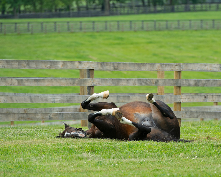 Caption: rolling<br /> Hollywood Story in foal to Justify at Starwood Farm near Versailles, Ky., on June 30, 2020 Starwood Farm in Versailles, KY.