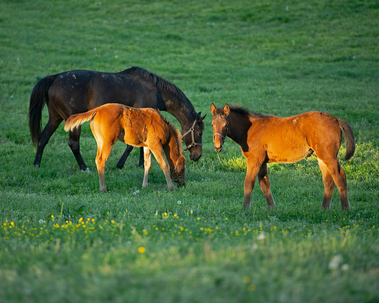 Caption: foreground, Silent Ronin 's bay colt by Congrats nickname Bruiser with mare JJ's Classic and her Air Force Blue chestnut filly nicknamed Red Peach<br /> Mares and foals at Pisgah Farm near Versailles, Ky., on May 1, 2020 PIsgah Farm in Versailles, KY.