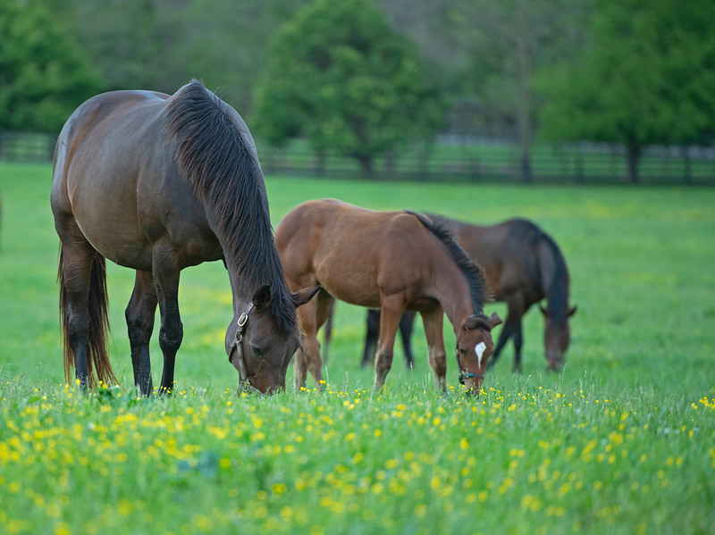 Caption: (L-R): Isle Get Ready and her Karakontie filly with mare Croon (background right)<br /> Mares and foals on Heaven Trees Farm near Lexington, Ky., on May 21, 2020 Heaven Trees in Lexington, KY.
