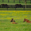 Caption: (L-R): Croon20 and her Cross Traffic filly, Sweet Diva 20 and her Free Drop Billy filly, and who knows? is flat out. Mares and foals on Heaven Trees Farm near Lexington, Ky., on May 22, 2020 Heaven Trees in Lexington, KY.
