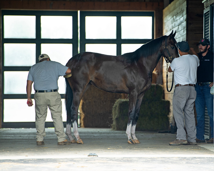 Caption: 2019 yearling filly by Curlin gets groomed.<br /> Hollywood Story at Starwood Farm near Versailles, Ky., on June 30, 2020 Starwood Farm in Versailles, KY.