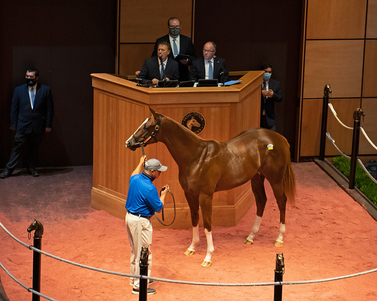 Hip 447 colt by Maclean's Music out of War Relic from Denali<br /> Fasig-Tipton Selected Yearlings Showcase in Lexington, KY on September 10, 2020.