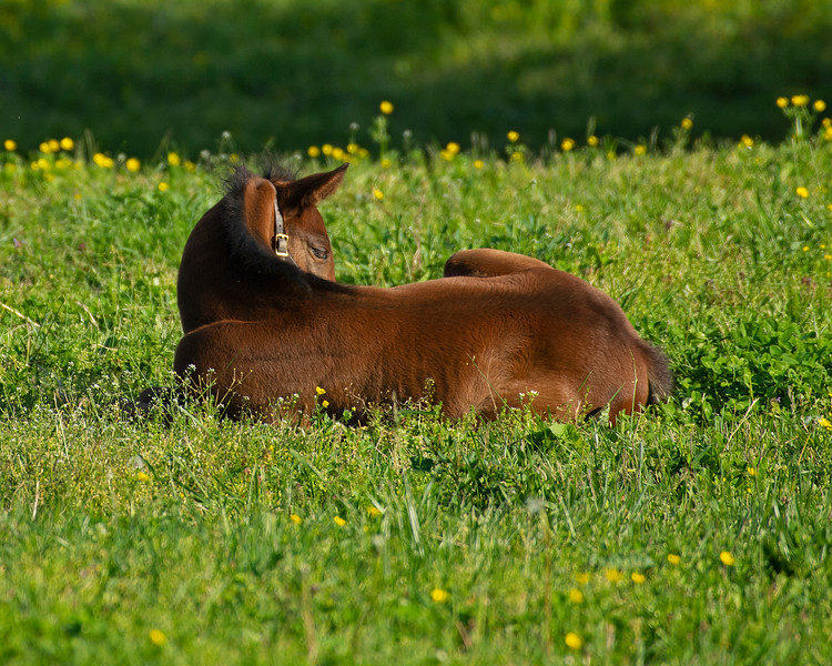 Caption: 2020 Get Stormy colt out of Secondhand<br /> Mares and foals on Pisgah Farm near Versailles, Ky., on May 2, 2020 Pisgah Farm in Versailles, KY.