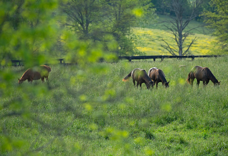 Caption: horses/mares grazing<br /> Horse grazing and feeding near Lexington, Ky., on May 22, 2020