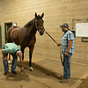 Caption:  Checking Strafe's leg early morning before sets begin. Oscar Velazquez holding Strafe. Heath looks at all of the breezers, shippers, and horses that got his attention on track the day before. Lots of back and forth from physical exam to set board. <br /> A native of Oklahoma, Heath started working at WinStar Farm on October 10, 2014, and became the farm trainer in October of 2018. Presently he has about 100 horses in training at the WinStar Farm training center, where they have a 7 1/2-furlong main track and 3/4 of a mile undulating turf gallop.<br /> Daily Life series on Destin Heath, farm trainer at WinStar Farm on Aug. 11, 2020 WinStar Farm in Versailles, KY.