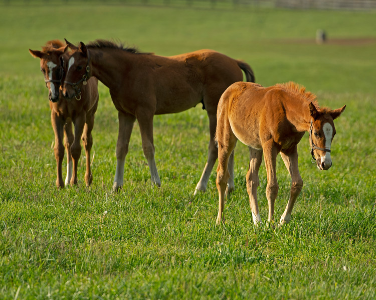 Caption: (L-R):  2020 Frosted o/o Kehei Sunset filly; Oscar Performance o/o Sounds of the City colt; Collected o/o Tizasong filly<br /> Mares, foals, yearlings, scenes at Ashview Farm near Versailles, Ky., on April 28, 2020 Ashview Farm in Versailles, KY.