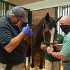 Caption: Afternoon activiities include vet work, (L-R): Dr. Rob  Holland does endoscopic exam on Let's Go Now with Christian Cruz holding the horse and Heath looking on. <br /> A native of Oklahoma, Heath started working at WinStar Farm on October 10, 2014, and became the farm trainer in October of 2018. Presently he has about 100 horses in training at the WinStar Farm training center, where they have a 7 1/2-furlong main track and 3/4 of a mile undulating turf gallop.<br /> Daily Life series on Destin Heath, farm trainer at WinStar Farm on Aug. 11, 2020 WinStar Farm in Versailles, KY.