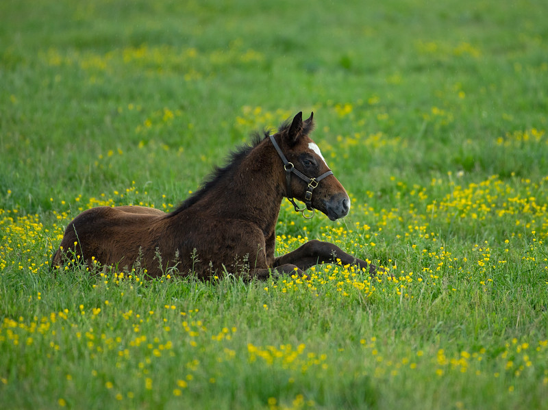 Caption: Blame colt out of Shesakitty<br /> Mares and foals on Heaven Trees Farm near Lexington, Ky., on May 21, 2020 Heaven Trees in Lexington, KY.