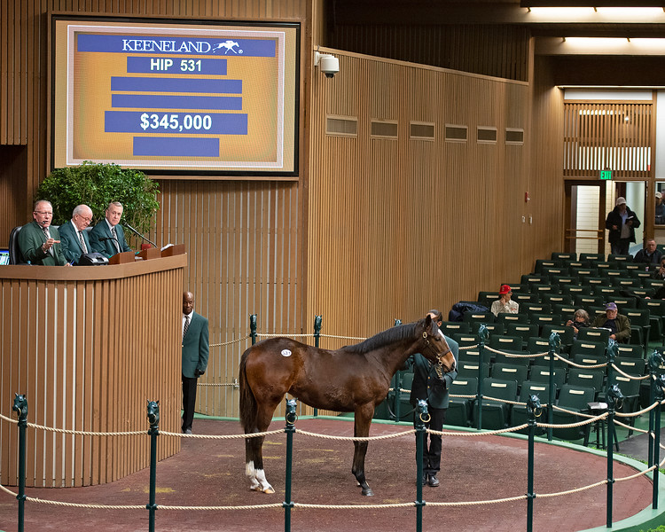 Hip 531 filly by War Front from Agreeable Miss at Eaton Sales<br /> Keeneland January Horses of all ages sales on<br /> Jan. 14, 2020 Keeneland in Lexington, KY.