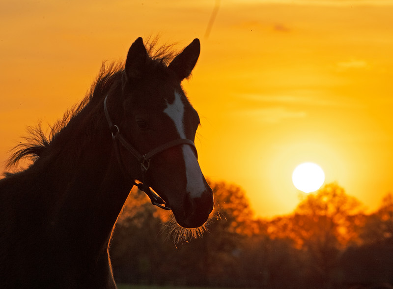 Caption: foal at sunset, 2020 Justify o/o No Sweat filly<br /> Mares, foals, yearlings, scenes at Ashview Farm near Versailles, Ky., on April 28, 2020 Ashview Farm in Versailles, KY.