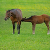 Caption: St. John's River and her Malibu Moon colt<br /> Mares and foals on Heaven Trees Farm near Lexington, Ky., on May 22, 2020 Heaven Trees in Lexington, KY.