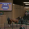 The Curlin filly consigned as Hip 368 at Denali Stud's consignment to the Keeneland September Sale