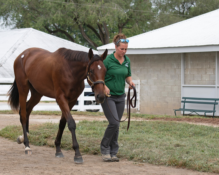 The Quality Road colt consigned as Hip 77 at Penn Sales' consignment to the Keeneland September Sale.