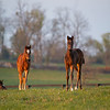 Caption: 2020 foal out of Miss Chapin 20 and 2020 foal out of Nonna Bella <br /> Mill Ridge Farm scenes, near Lexington, Ky.,  on April 16, 2020 Mill Ridge in Lexington, KY.