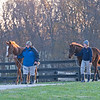 (L-R): Lord Nelson/Always in My Heart and Mastery/Brownie Points Weanlings walking in, <br /> at Pin Oak Stud<br /> at  Nov. 8, 2019 Pin Oak Stud in Versailles, KY.