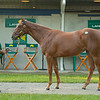 Hip 449 Twilight Dreams filly by Curlin out of Whatdreamsrmadeof at Lane's End<br /> Fasig-Tipton Selected Yearlings Showcase in Lexington, KY on September 9, 2020.