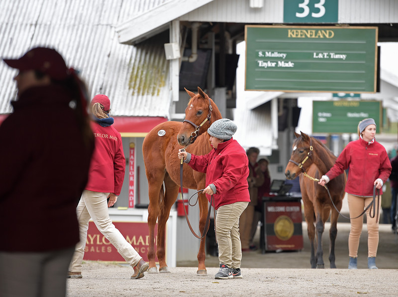 Scene at Taylor Made with hip 903<br /> Keeneland January Horses of all ages sales on<br /> Jan. 14, 2020 Keeneland in Lexington, KY.