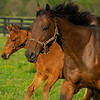 Caption: mare and foal running, mare is Natural Rush<br /> Mares, foals, yearlings, scenes at Ashview Farm near Versailles, Ky., on April 28, 2020 Ashview Farm in Versailles, KY.