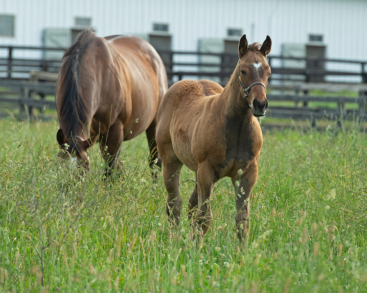 Caption: Cayuga's Water with her Malibu Moon colt born 3/31/20 and now in foal to Lord Nelson<br /> Mares Cayuga's Waters and Glorious View owned by Brant Laue boarded at Alfred Nuchols' Hurstland Farm near Midway, Ky., on June 9, 2020 Brant Laue in Versailles, KY.