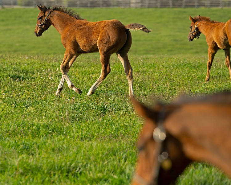 Caption: three  foals running at Ashview<br /> Mares, foals, yearlings, scenes at Ashview Farm near Versailles, Ky., on April 28, 2020 Ashview Farm in Versailles, KY.