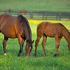 Caption: Lotta Kim and her Bolt d'Oro colt<br /> Mares and foals on Heaven Trees Farm near Lexington, Ky., on May 22, 2020 Heaven Trees in Lexington, KY.