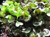 Asp per sporophyte