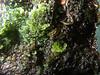 Asp per gametophytes